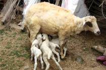 Fethiye'de Bir Koyun 7 Kuzu Doğurdu