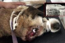 Hayrete düşüren olay! Bodrum'da Köpeğin Röntgeninde Havalı Tüfek Saçması Çıktı