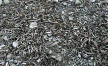 Dalaman Çayı'nda Binlerce Balık Telef Oldu