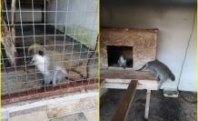 Köyceğiz'de Evde Beslenmesi ve Sahiplenilmesi Yasak 3 Maymun Ele Geçirildi