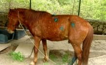 Yaralı Yılkı Atına Marmaris Belediyesi Sahip Çıktı