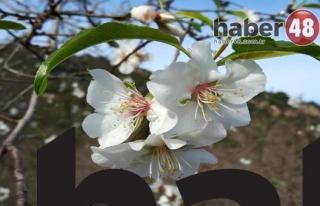 Datça Badem Çiçekleriyle Yeni Yılı Karşıladı