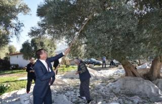 Başkan Tokat Köylülerle Zeytin Hasadı Yaptı