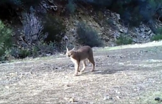 """Yabani Kedi """"Karakulak"""" Köyceğiz'de..."""