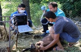 Muğla'da Kıl Keçilerine Ultrasonlu Muayene...