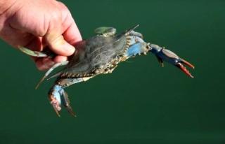 Mavi Yengeci Avlamanın Cezası 5 Bin TL