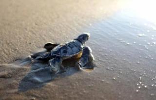 550 Bin Yavru Deniz Kaplumbağası Denizle Buluştu