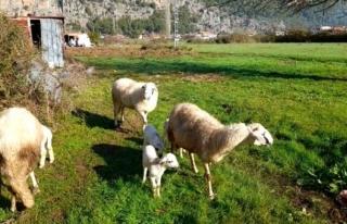 Marmaris'te Çobanları Kurt ve Domuz Korkusu...