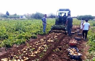 Datça'da İlk Turfanda Patates Hasadı