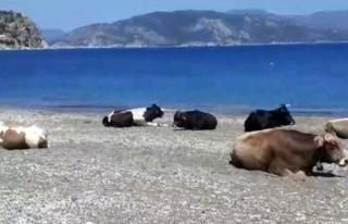 Marmaris'te Plajın Tadını Bu Sefer İnekler...