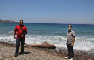 Datça'da 3 Metrelik Ölü Köpek Balığı Sahile...