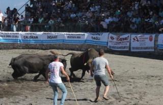 Ula'da Boğa Güreşi Festivali Yapıldı