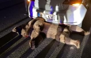 Otomobilin Çarptığı Boz Ayı Öldü