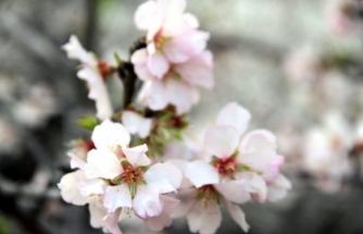 Datça Badem Çiçeği Festivali Sona Erdi