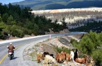 Kıbrıs Gazisi Motosikletli Çoban Oldu