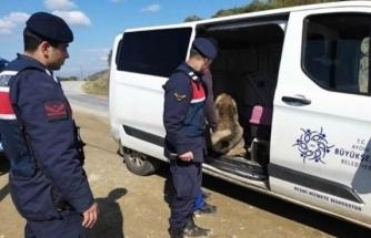 Muğla'dan Nazilli'ye Köpek Dövüşüne Gidiyorlar