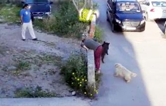 Bodrum'da Bir Evin Bahçesine Giren Domuz Panik Yaşattı!