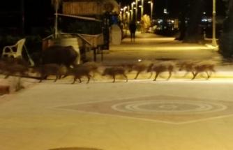 Marmaris'te Domuzlar Sahile İndi, Yiyecek Aradı