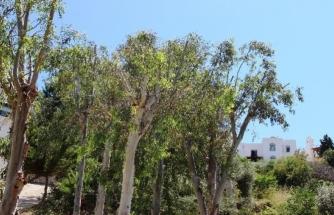 Tartışma Konusu Olan Ağaçların Neden Budandığı Ortaya Çıktı