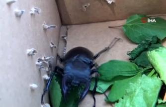 Ula'da, Nesli Tükenme Tehlikesinde Olan Geyik Böceği Bulundu!