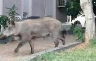 Muğla'da Bir Yaban Domuzu Gündüz Vakti Şehre İndi