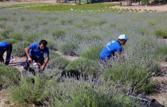 Menteşe'de Lavanta Bahçesi Hasadı Başladı