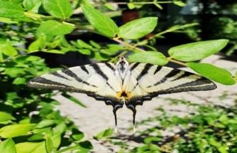 Muğla'da Çatal Kuyruklu Kelebek İlgi Odağı Oldu