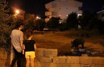 Marmaris'e Yine Yaban Domuzları İndi, Mahalleli Besledi