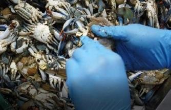Balıkçıların 'Korkulu Rüyası' Mavi Yengeç, Turistlerin Gözdesi