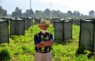 Ula'da Dikkat Çeken Avokado Bahçesi