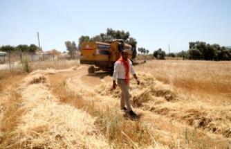 Ata Tohumu Karakılçık Buğdayı'nın İlk Hasadı Bodrum'un Karaova Bölgesi'nde Yapıldı