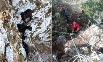 Milas'ta Kayalıklarda Mahsur Kalan 3 Keçi, Halatla Çekilerek Kurtarıldı
