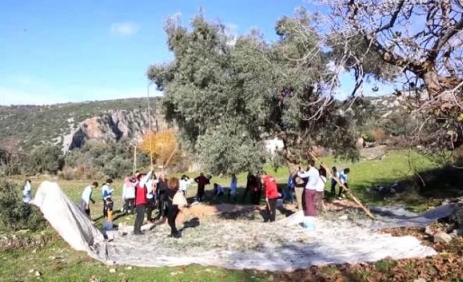 Milas'ta Gönüllü Gençler Hasada Yardım Etti