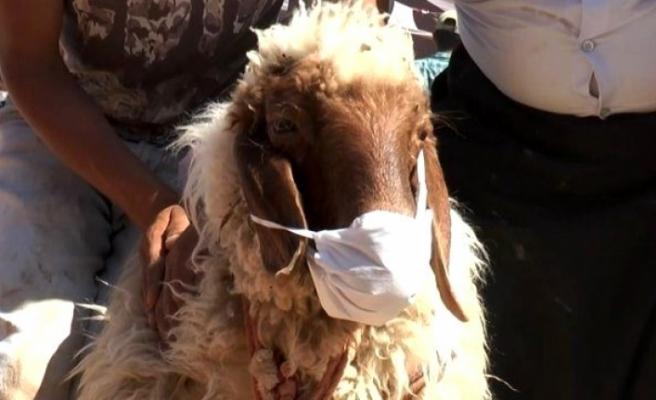 Koronavirüsten Korunmak İçin Kurbanlık Koyuna Maske Taktı