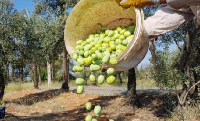 İklim Değişikliği Zeytini Vurdu: Tahmini Kayıp 145 Bin Ton