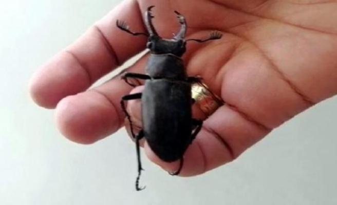 Bodrum'da Nesli Koruma Altındaki Geyik Böceği Görüldü