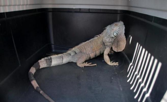 Bodrum'da İguana alarmı