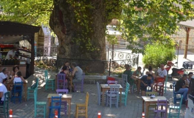 Marmaris'teki Çınar Ağacı Asırlara Meydan Okuyor