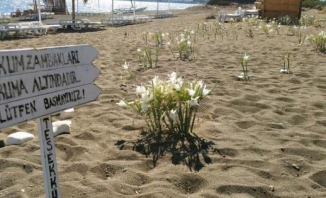 Datça'daki Bu Çiçeği Koparmanın Cezası Araba Parası