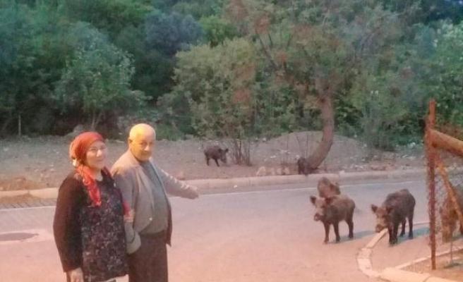 MARMARİS'TE YABAN DOMUZLARI MAHALLEYE İNDİ