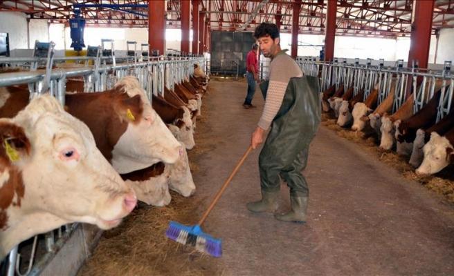 Hayvancılıkta 'elektronik küpe' hazırlığı