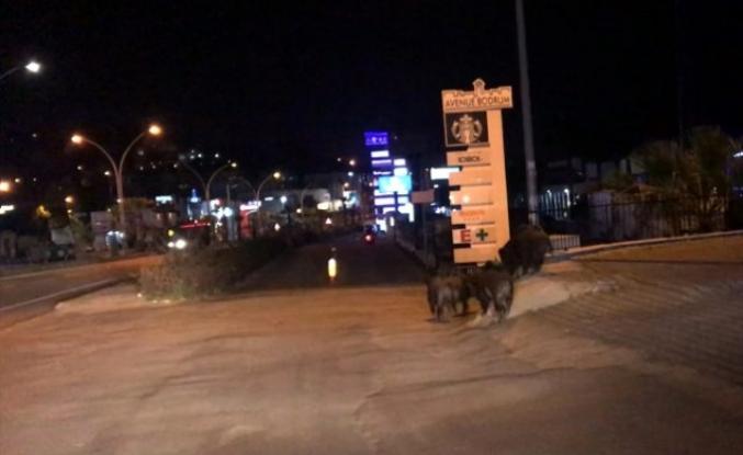 Bodrum'da Aç Kalan Yaban Domuzu Sürüsü Merkezine İndi