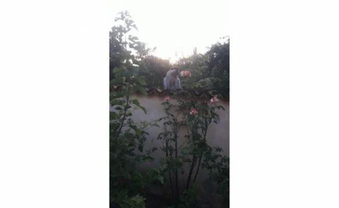 Ortaca'da Bir Süredir Aranan Firari Maymun Yakalandı!