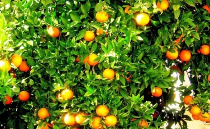 Köyceğiz Portakalı'na Coğrafi İşaret Alınması İçin Çalışma Yapılıyor