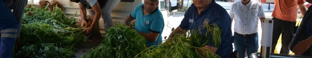 ORTACA'DA HİNT KENEVİRİ OPERASYONU