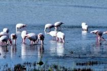 Muğla'da Flamingo Şöleni