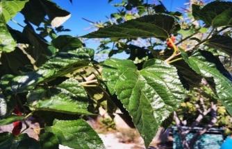 Muğla'da Dut Ağaçları Mevsimi Şaşırdı
