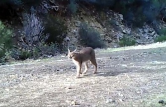"""Yabani Kedi """"Karakulak"""" Köyceğiz'de Görüntülendi"""