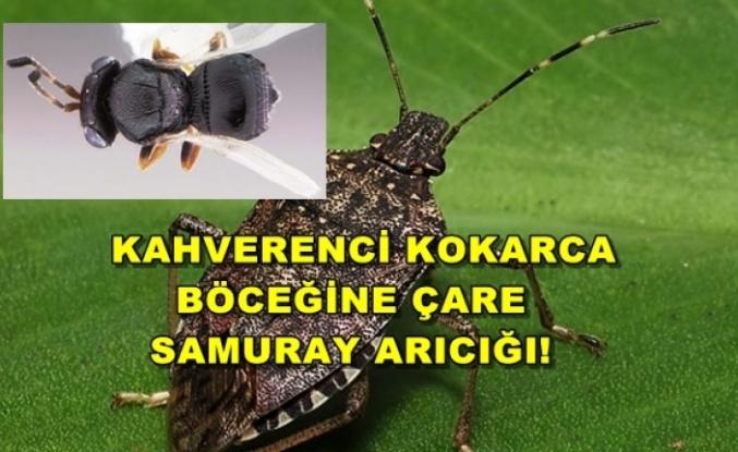 'Kahverengi Kokarca' Böceğine Çare: 'Samuray Arıcığı'