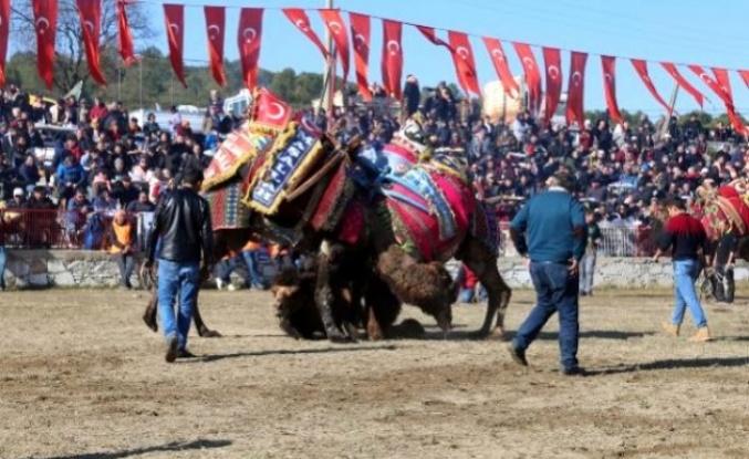 Yatağan'da 20. Geleneksel Deve Güreşi Festivali Nefes Kesti